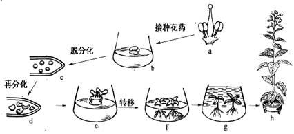 下图是利用花药进行离体培养过程的示意图,请利用所学