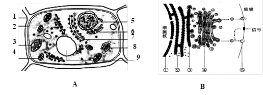 考拉网>资源市场>试题> A图为某植物细胞的亚显微结构模式图,B图示某动物细胞分泌蛋白合成和分泌的途径,请据图回答问题:  &amp